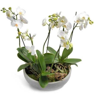 Phalaenopsis droom