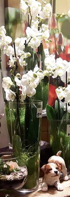 ORCHIDEE IN HOGE GLAZEN VAAS