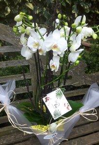Orchidee 4-5 takken